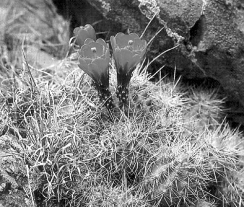 Fig. 7. Claret cup cactus. Photo by Lewis E. Epple. Reprinted with permission from A Field Guide to the Plants of Arizona (Helena MT: Falcon, 1995) illustration 124