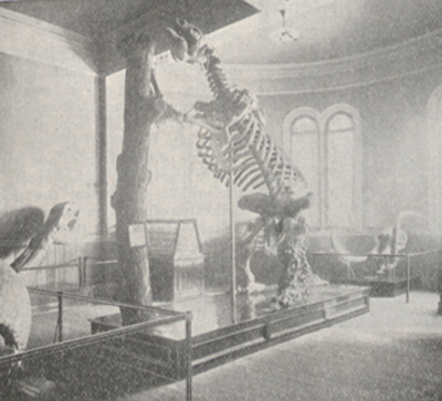 Photograph of the skeleton of the giant megatherium.