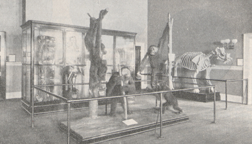 Photograph of the group of stuffed orang-outangs.