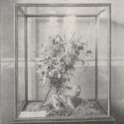 Photograph of a case of loggerhead shrikes.