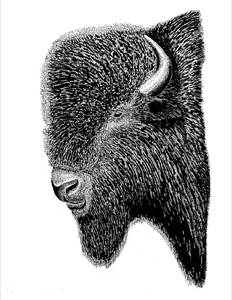 Drawing of an adult male bison