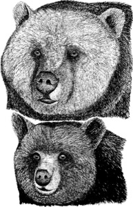 Drawing of an adult grizzly bear and an adult black bear