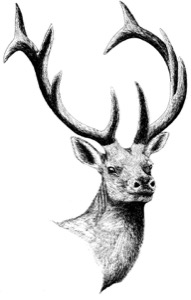 Drawing of an adult male elk