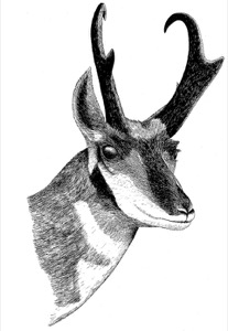 Drawing of an adult male pronghorn