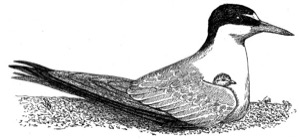 Drawing of the least tern, adult and chick.