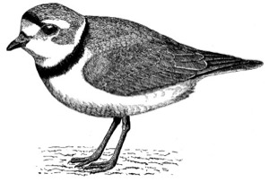 Drawing of a piping plover, adult