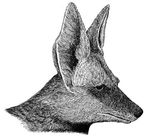 Drawing of a coyote, adult
