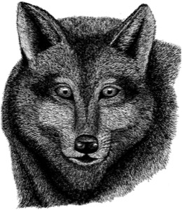 Drawing of gray wolf, adult