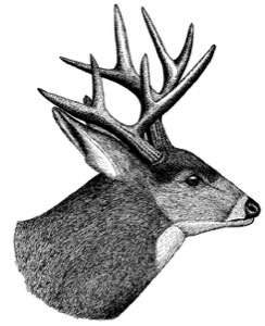 Drawing of a mule deer, adult male (in autumn)