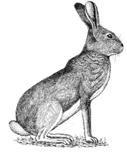 Drawing of a white-tailed jackrabbit, adult in summer pelage