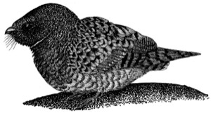 Drawing of a common poorwill, adult