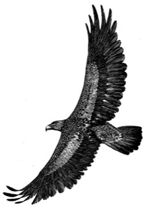 Drawing of a golden eagle, adult
