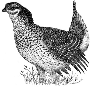 Drawing of a sharp-tailed grouse, adult male