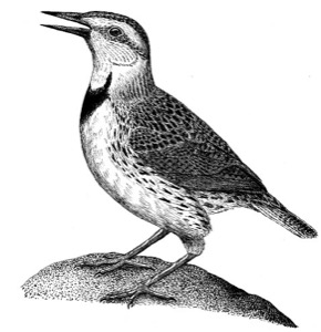 Drawing of a western meadowlark, adult male