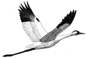 Drawing of a whooping crane, adult