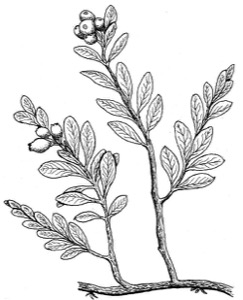 Drawing of a bearberry
