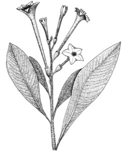 Drawing of Indian tobacco