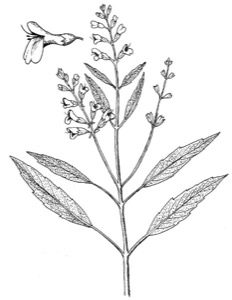 Drawing of lanceleaf sage, with leaf variation and flower detail
