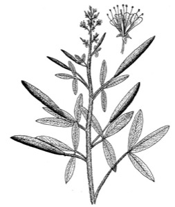 Drawing of large-flowered clammyweed, with flower detail