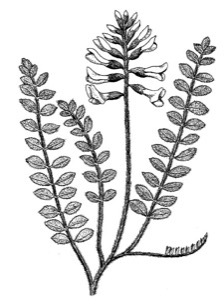 Drawing of Missouri milk-vetch