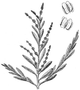 Drawing of shadscale, with seed detail