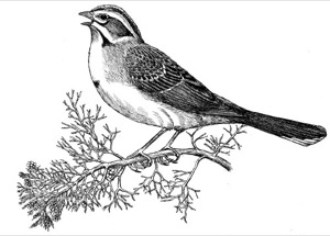 Drawing of western juniper and adult lark sparrow