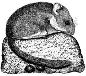 Drawing of a bushy-tailed woodrat, adult with cache