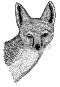 Drawing of a swift fox, adult