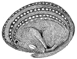 Drawing of a thirteen-lined ground squirrel, adult (dormant)