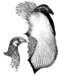 Drawing of a greater sage-grouse, adult male (right) and female
