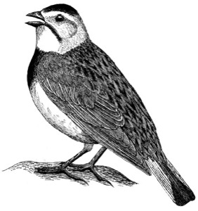 Drawing of McCowns longspur, adult male