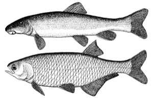 Drawing of mountain sucker (top) and goldeye (bottom)