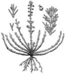 Pasture Sagewort